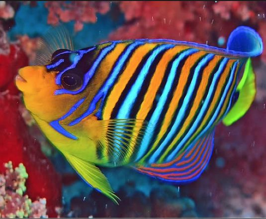 4cdbac1663037e6d306bd88485e5714f--pretty-fish-beautiful-fish