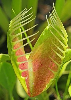 Venus-Flytrap close