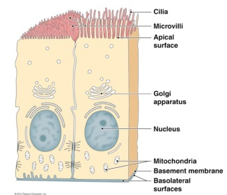 epithelial-cell